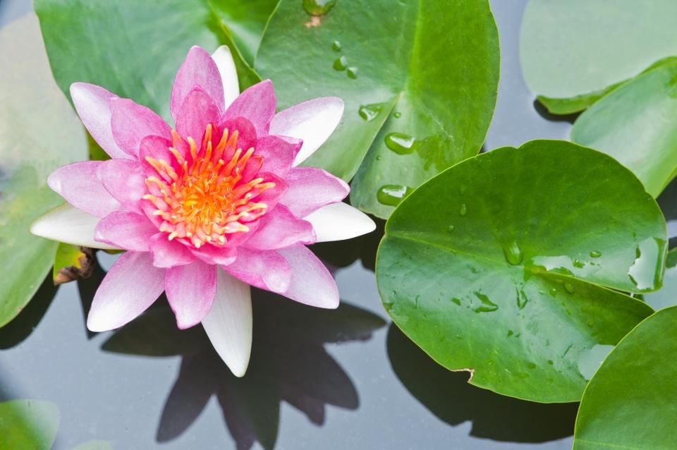 lotus et feuilles.jpg