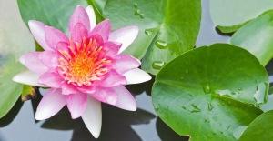 bandeau lotus